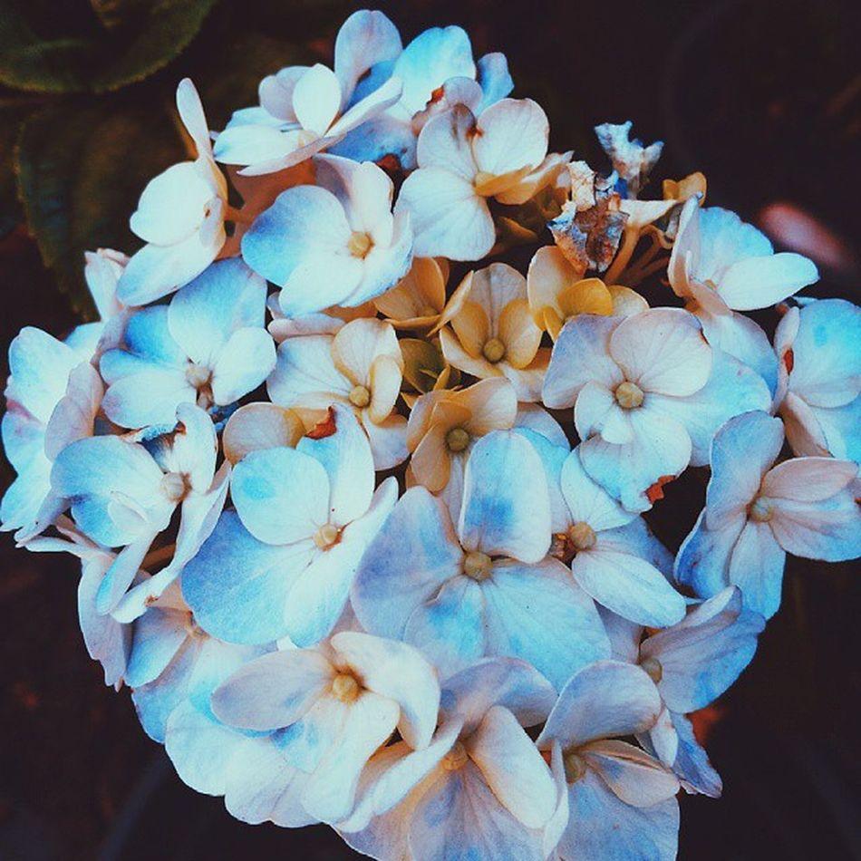 ▪ Vscofocus ▪ Flowers ▪ Vscofeatures ▪ Vscovibe ▪ bestofvsco ▪ colors ▪ vscophile ▪ nature ▪ vscocam ▪ vscobrasil ▪ instagood ▪ igmaster ▪ blue ▪