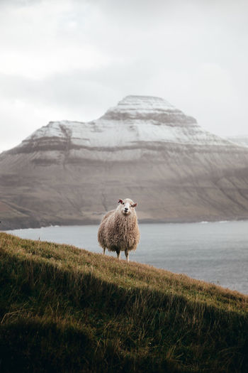 Beauty In Nature Faroe Islands Grass Mammal Mountain Nature One Animal Outdoors Scenics Sheep Standing