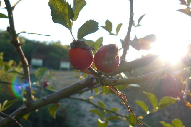 Beauty In Nature Bright Close-up Day Focus On Foreground Food Food And Drink Freshness Fruit Green Color Growth Leaf Lens Flare Nature Outdoors Rosehips Rural Scene Selective Focus Sun Sunbeam Sunlight Sunny Vibrant Color