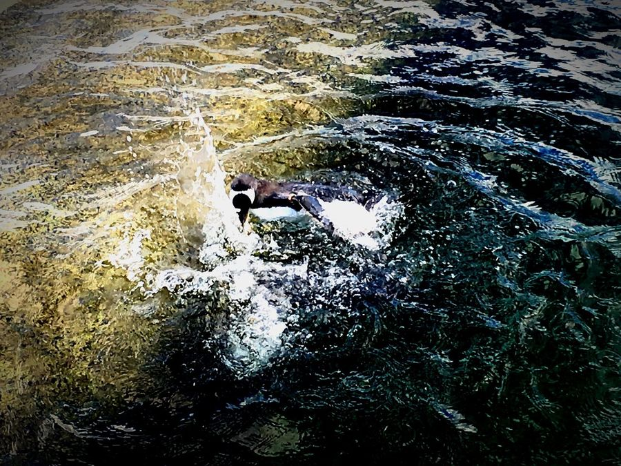 Animal Penguin Splash Black And White In Colour Playful Wild Water Bird EyeEmNewHere