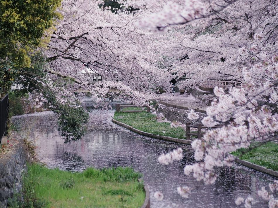 Tree Nature Growth Reflection High Angle View No People Outdoors Tranquility Day Tranquil Scene Water Beauty In Nature Sakura Flower Beauty In Nature Sakuracollection Sakura PENTAX Q Pentax Nature River River View