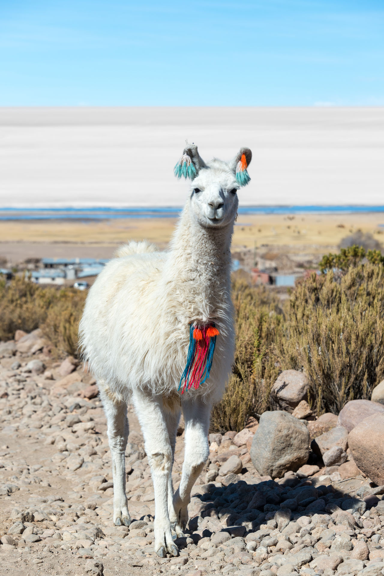 Beautiful stock photos of bauernhof, Animal Themes, Bolivia, Day, Domestic Animals