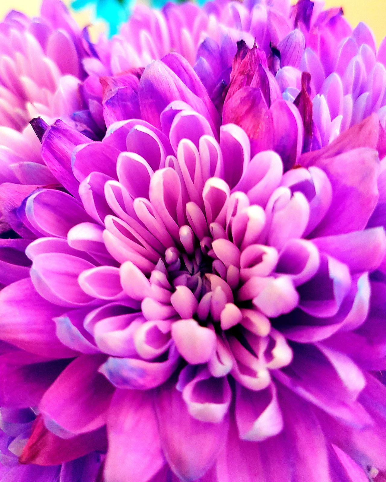 Flower Beauty In Nature Fragility Flower Head Petal Purple Freshness Nature Pink Color Close-up Growth Outdoors Day Plant No People Chrysanthemum Flower Photography Beautiful Flowers Purple Petals Pink-purple Flowering Branches Purple Flower Backgrounds Full Frame Colourful