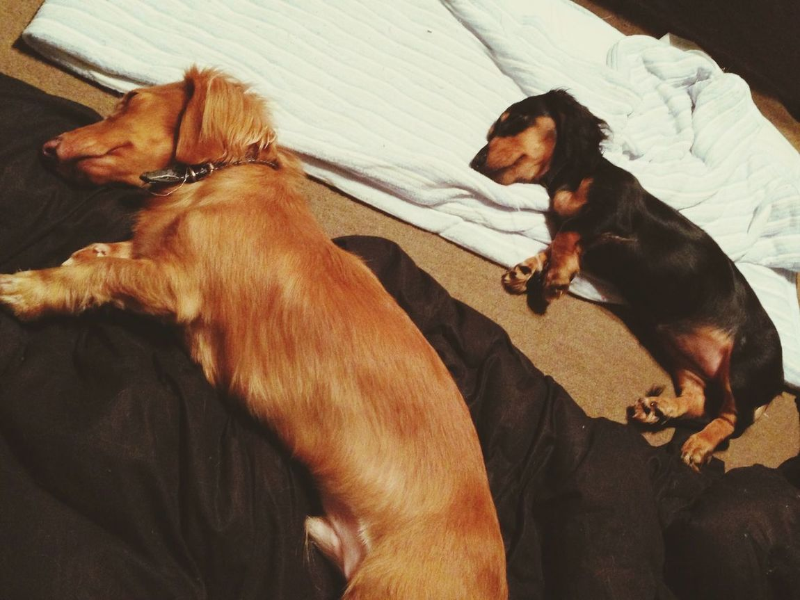 sleep Dog Animal Dacshund ダックス 犬