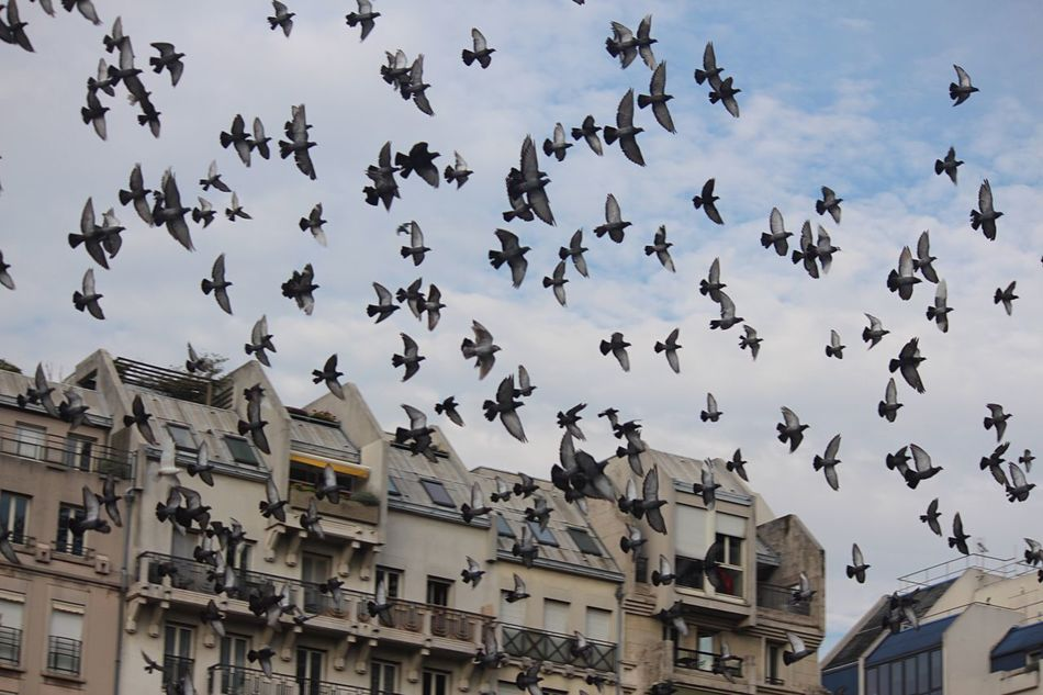 Flying Large Group Of Animals Low Angle View Bird Flock Of Birds Architecture Outdoors Animal Themes Animals In The Wild Building Exterior No People Day Sky