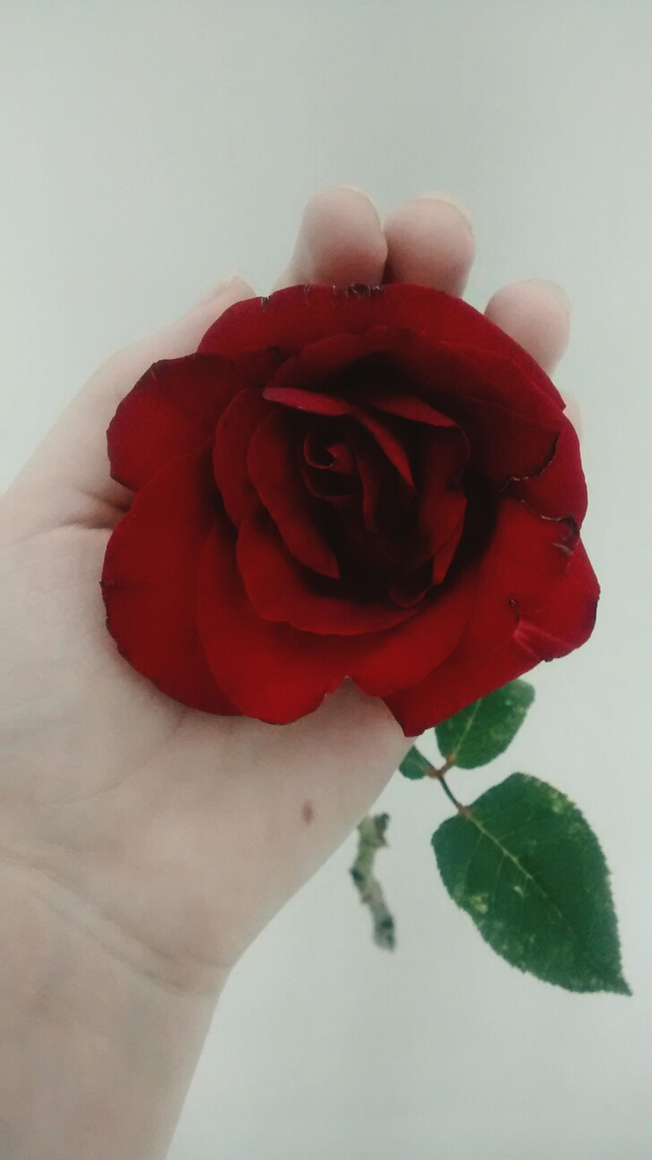 person, flower, petal, red, holding, flower head, freshness, studio shot, fragility, white background, rose - flower, part of, close-up, cropped, human finger, single flower, indoors