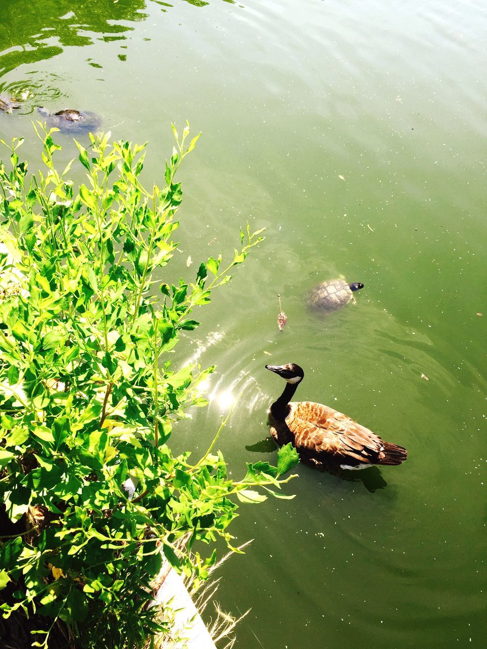 animal themes, water, animals in the wild, lake, high angle view, swimming, nature, waterfront, one animal, day, animal wildlife, plant, no people, bird, leaf, green color, outdoors, floating on water, growth, beauty in nature, black swan