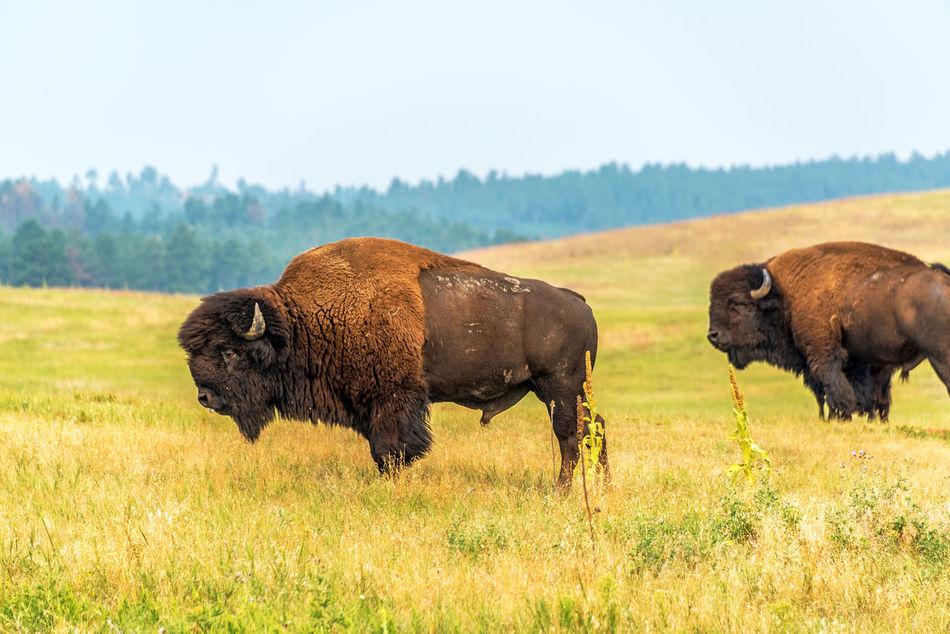 Two bison in Custer State Park, South Dakota American American Bison Animal Animals Animals In The Wild Bison Black Hills Brown Buffalo Custer State Park Field Grassland Herd Mammal Mammals Nature Nature Park Park - Man Made Space South Dakota Tourism Travel USA Wildlife Wildlife & Nature