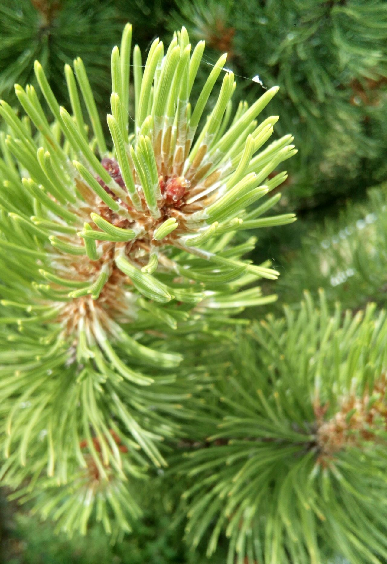 Green Color Nature Plant Needle - Plant Part No People Pine Tree Outdoors Freshness Tree Tannenzweig Tannennadeln Tannenzweige Tree Pflanzen Plant Freshness Needle Beauty In Nature Green Color Nature Tannen