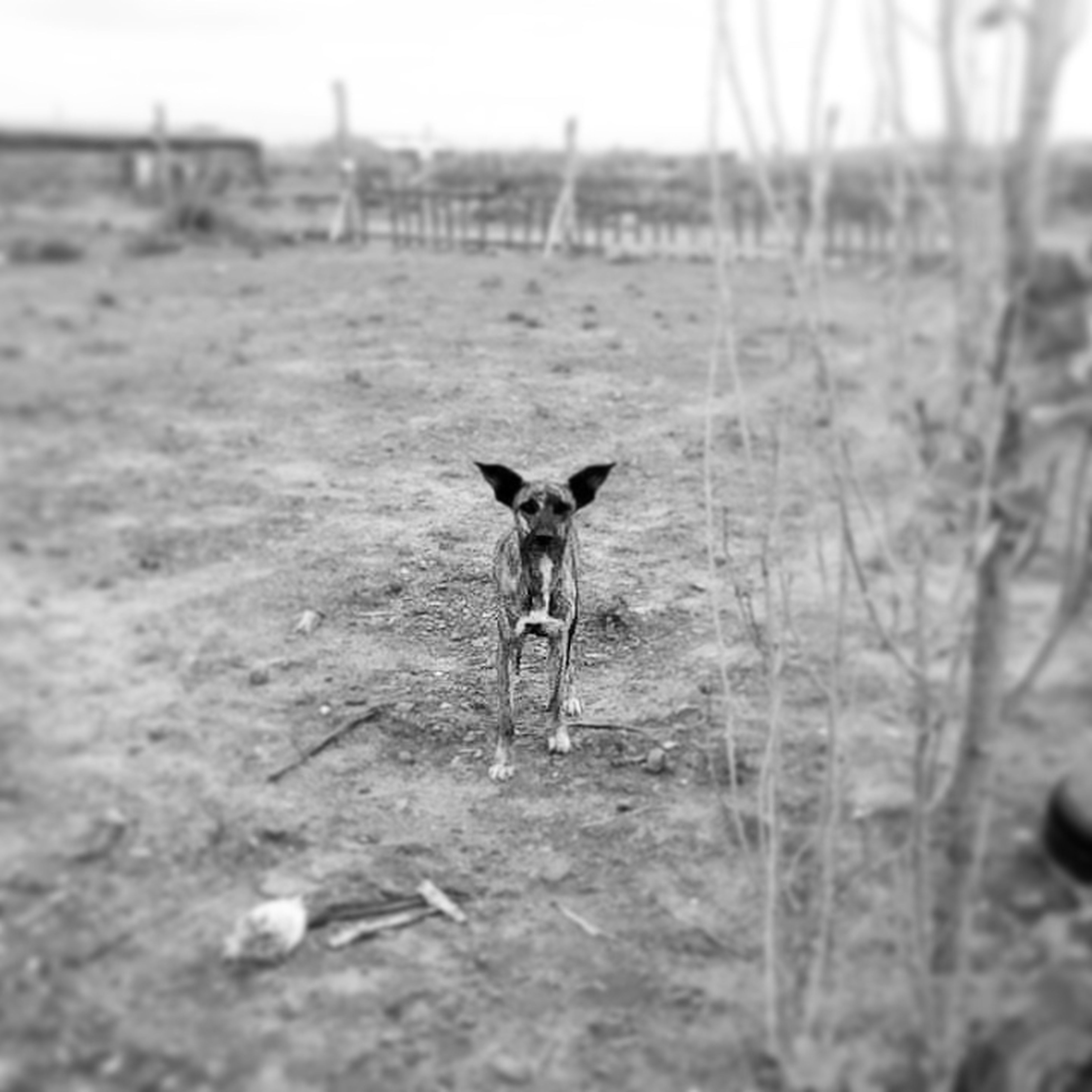animal themes, mammal, one animal, domestic animals, pets, field, standing, selective focus, looking at camera, portrait, running, grass, dog, full length, focus on foreground, walking, landscape, nature, outdoors, day