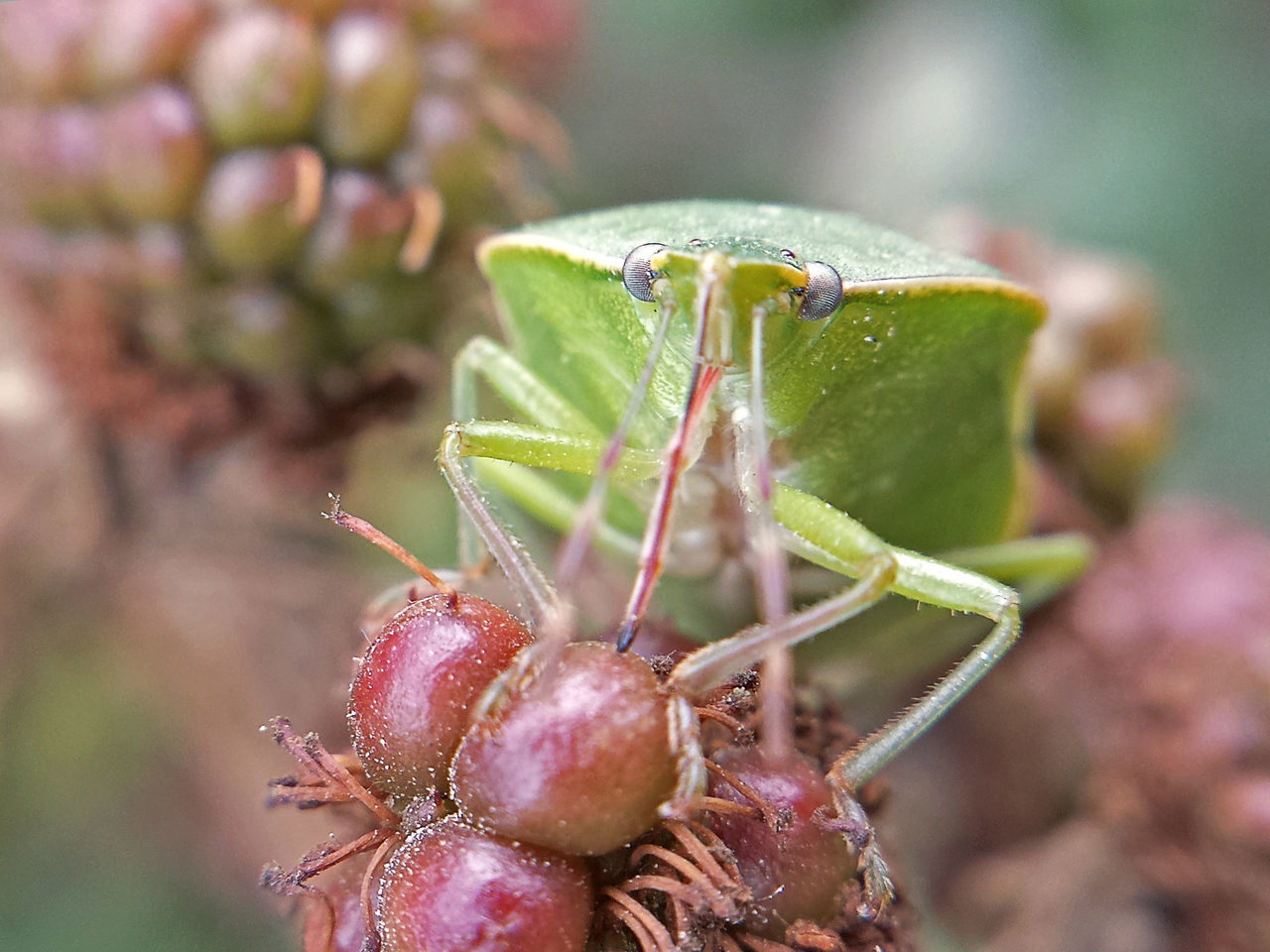 Nezara Viridula - Serchio River Arthropoda Beauty In Nature Close-up Hexapoda Insect Insect Close-up Insect Macrophotography Insecta Nature Outdoors ınsect Macro Maximum Closeness