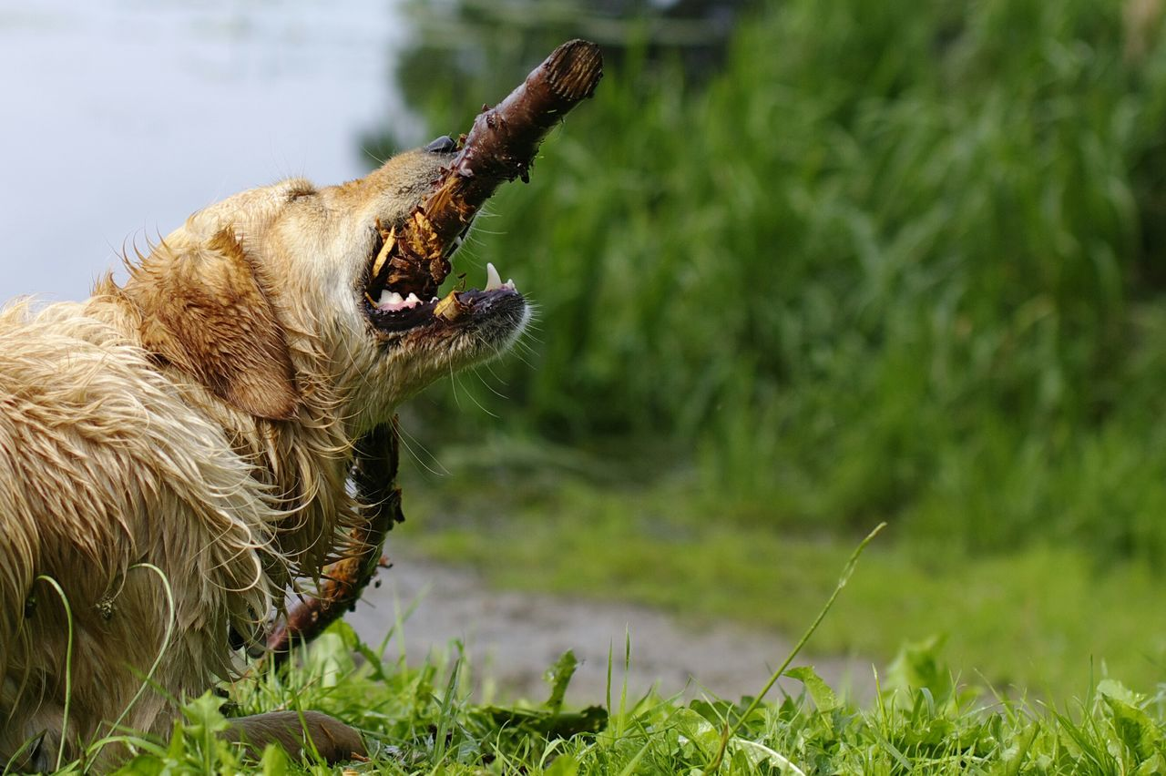 Beautiful stock photos of golden retrievers, Animal Themes, Bohmstedt, Day, Domestic Animals