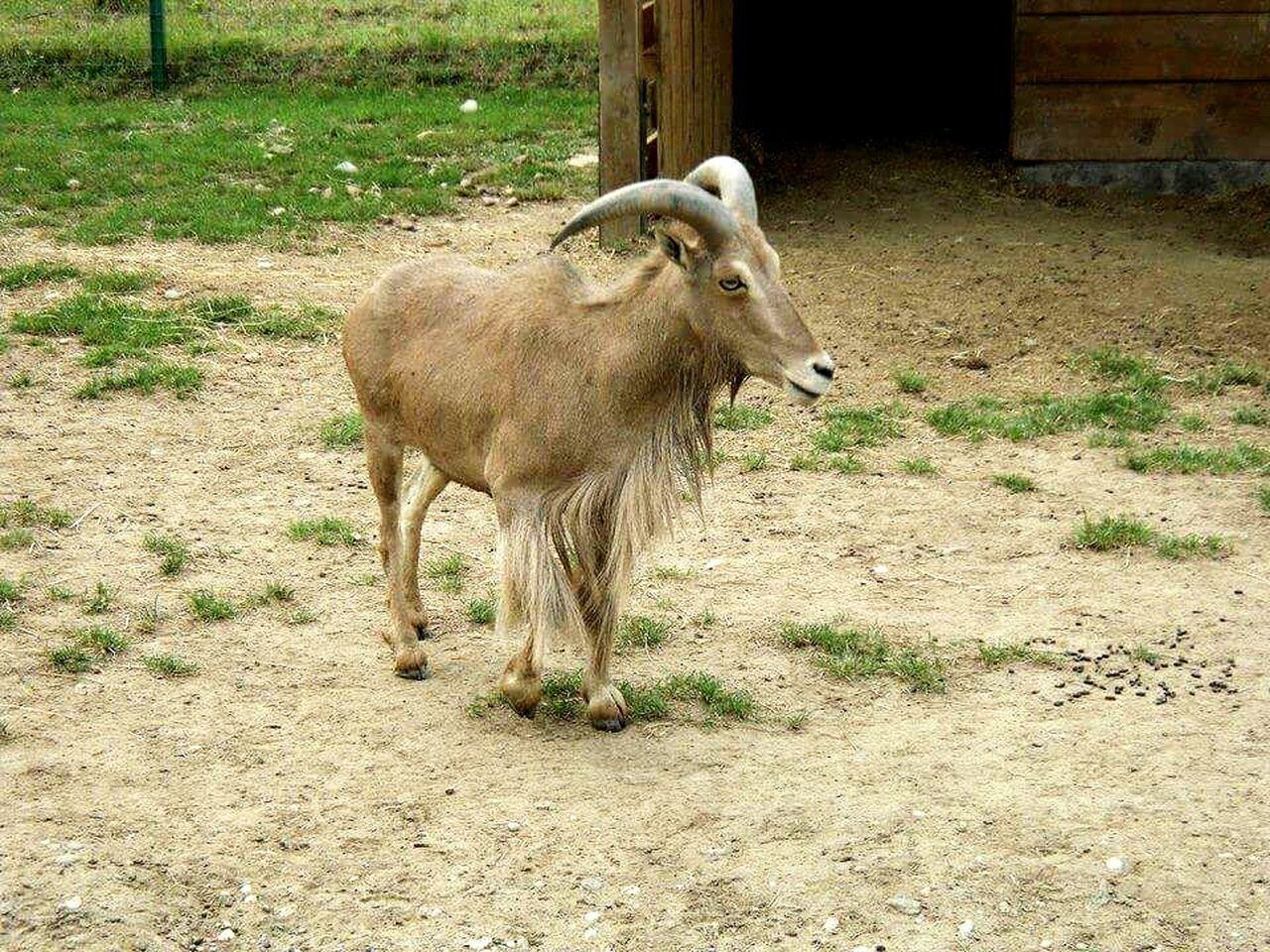 Goat Blue Eyes Oradea,România Sweet Focus Object Maximum Closeness Adapted To The City