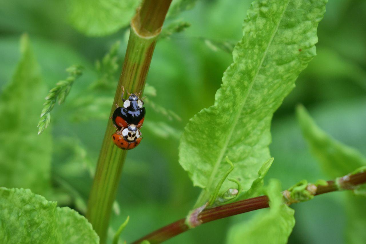 Ladybug Ladybird Mating Mating Season Ladybeetle Harlequin Ladybird Harlequin Beetle Beetles Procratinating Nature Wildlife Nature_collection The Great Outdoors - 2016 EyeEm Awards