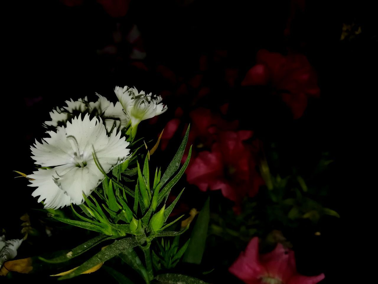 Hello World ✌ New Shot Eyem Best Shots Best I Think Without Light! Pink Flower My Garden @my Home Flower Nature Growth Plant Close-up Freshness Beauty In Nature No People Flower Head Leaf Fragility Outdoors Night