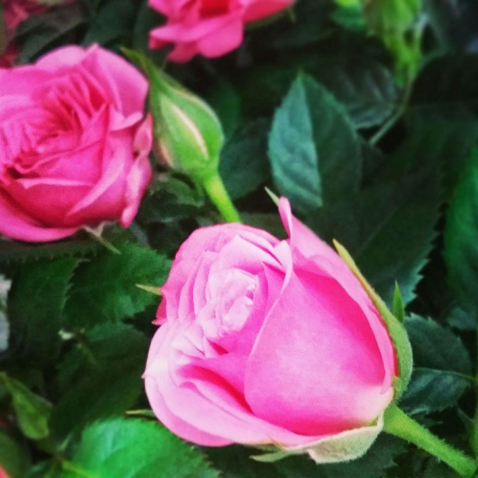 Rose 🌹🌹🍃 Prague♡ 😻😻😻❤️ Autumn 🍎☕🌹🍁🍂🍁🍁🍁🍂