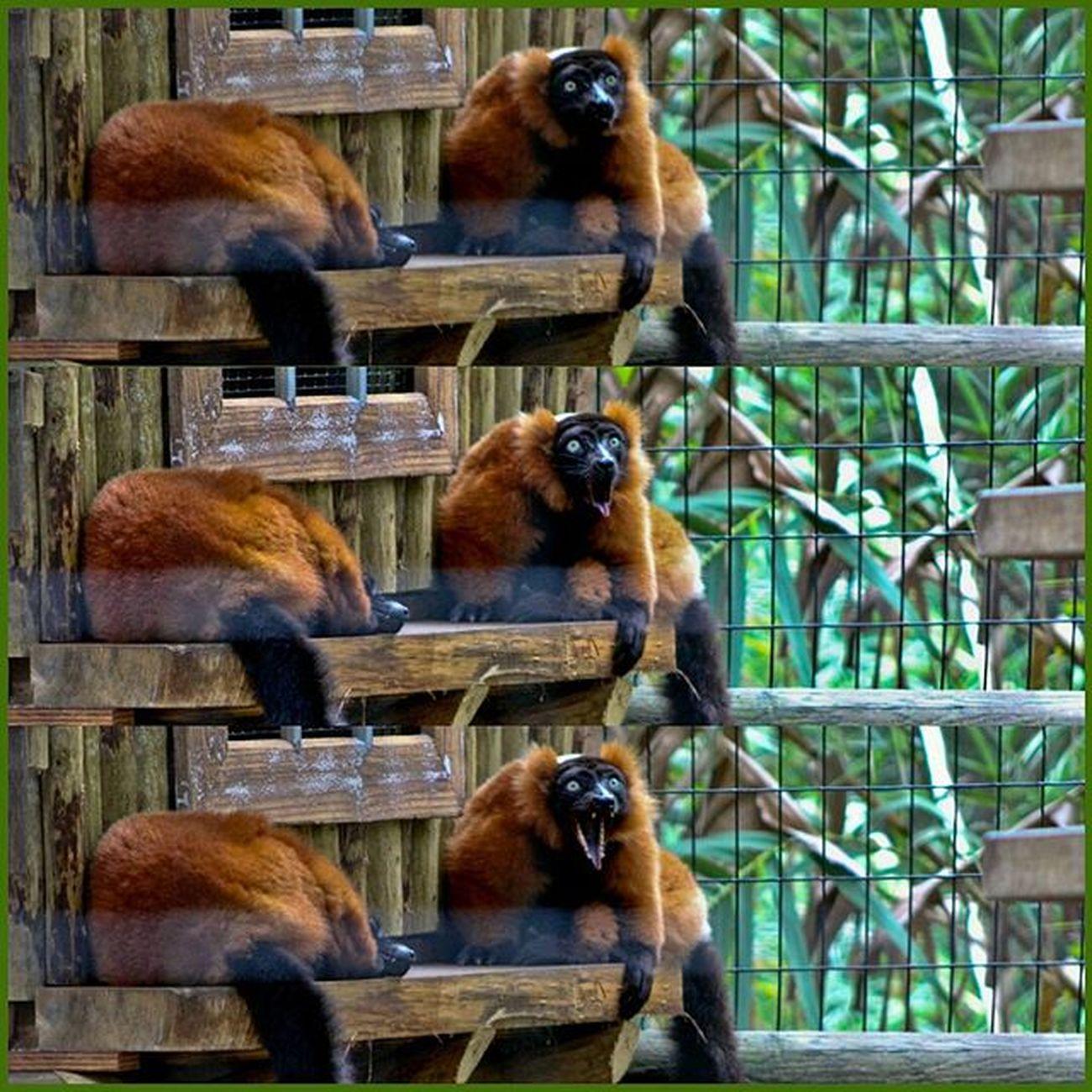 Red ruffed Lemur reacting @staugalligatorfarm Redruffedlemur Lemur Grill Smile Animals Mammals Nature Naturelovers Instagood Igersjax Igersstaugustine IlovesStAugustine Picoftheday Pureflorida Ig_great_pics Roamflorida 904skyporn Eyesofjax Onlyinduval Voidlive Staugustine Florida Canon