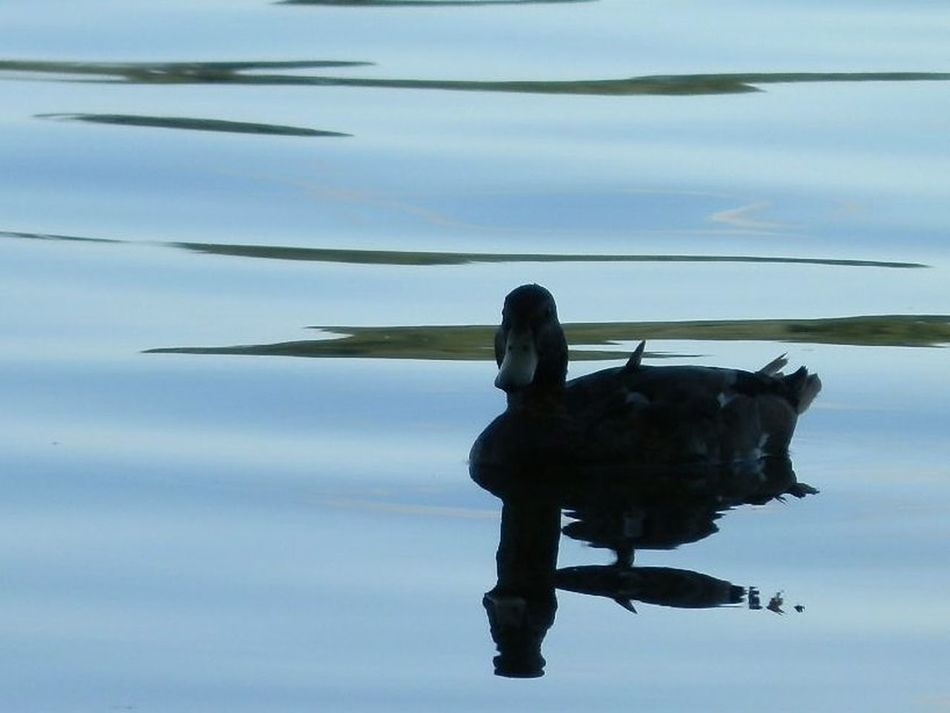 And here's the last duck for today 😀💕 Reflection Water Lake Tranquility One Animal Nature Beauty In Nature Outdoors Animals In The Wild Ducks ❤ Sihlouette