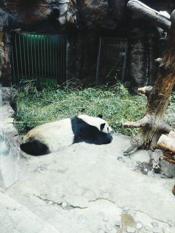 Lazy panda Panda