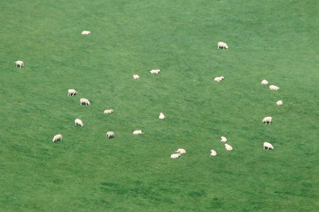 White stars on green sky Animal Themes Animals In The Wild Grass Ireland Sheep Sheep-run Summer Wildlife Sheeps Sheep🐑 Green Green Green Green!  Green Color White Dots White Dots On Green Ireland🍀 No People