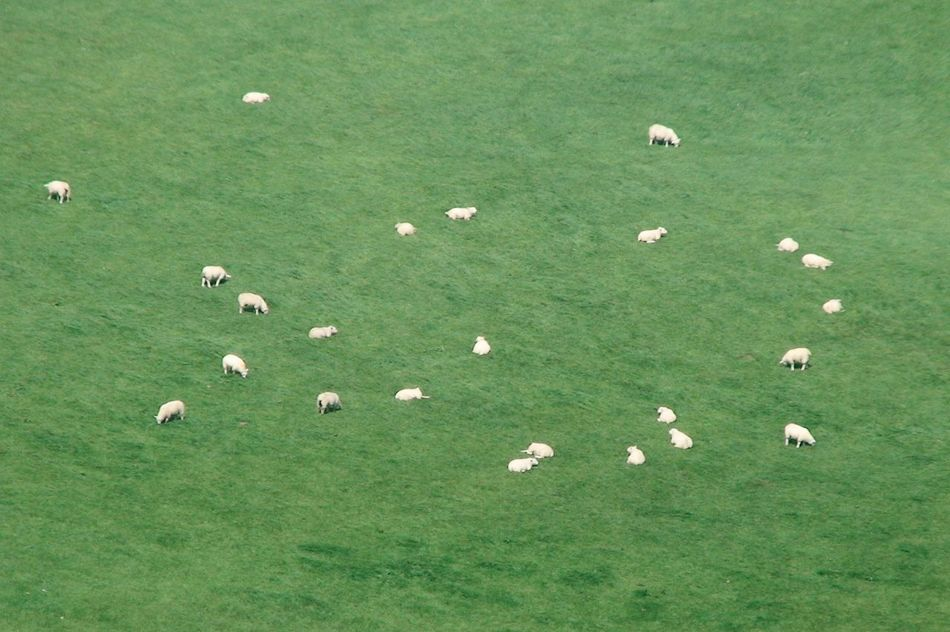 White stars on green sky Animal Themes Animals In The Wild Grass Ireland Sheep Sheep-run Summer Wildlife Sheeps Sheep🐑 Green Green Green Green!  Green Color White Dots White Dots On Green Ireland🍀 No People Betterlandscapes
