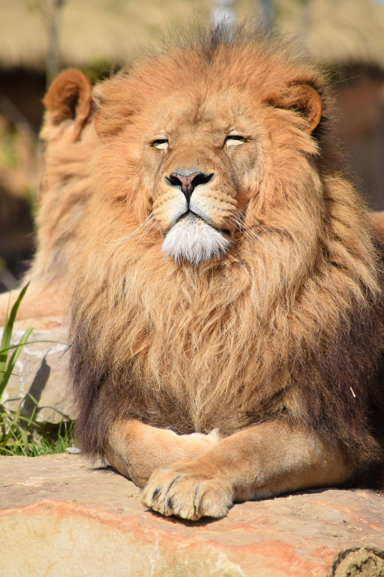 lion Beauval Feline King Lion Majestic Mamal Nature Powerful Rock Sleeping Strong Zoo