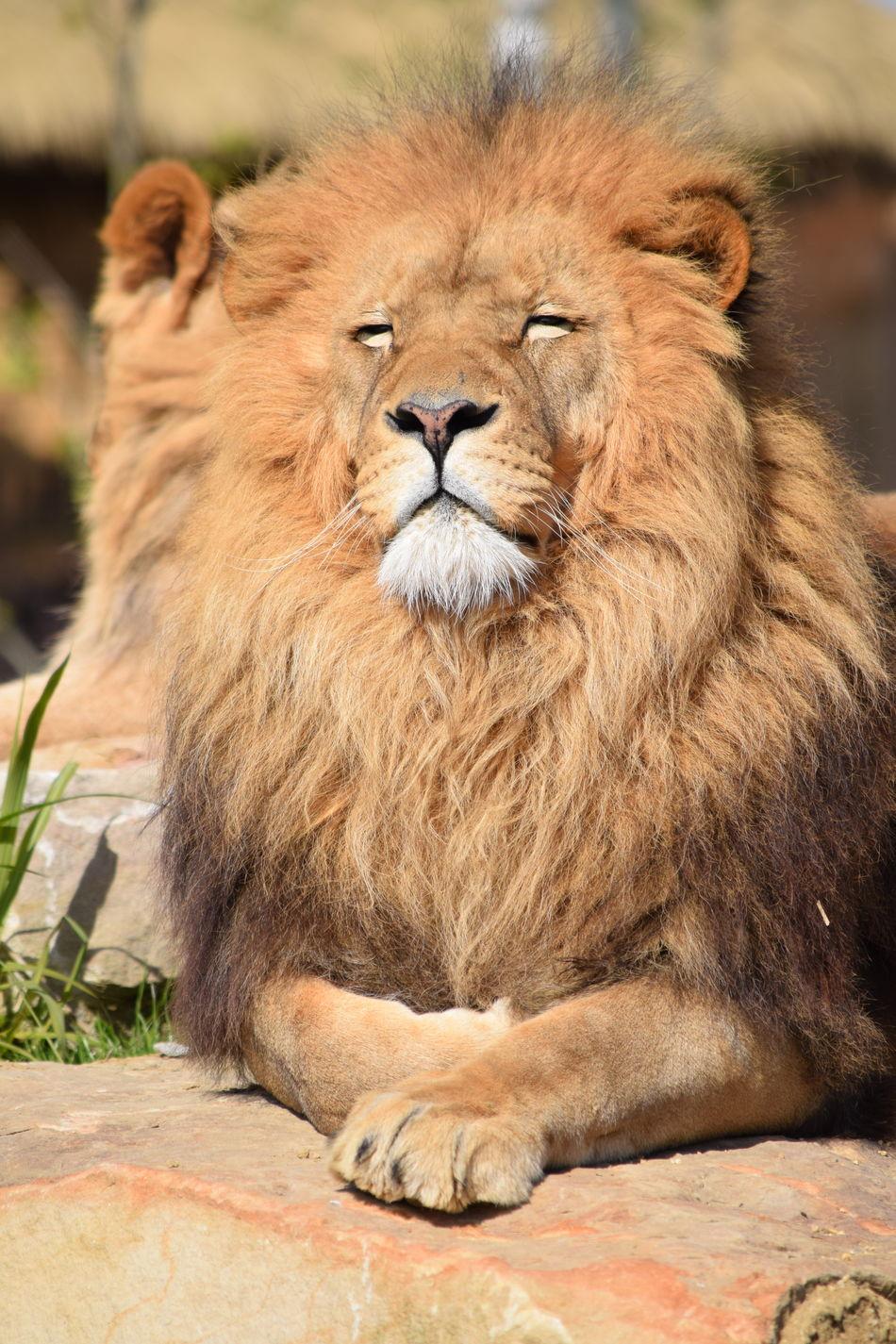 lion Beauval Feline King Lion Majestic Mamal Nature Powerful Rock Sleeping Strong Zoo