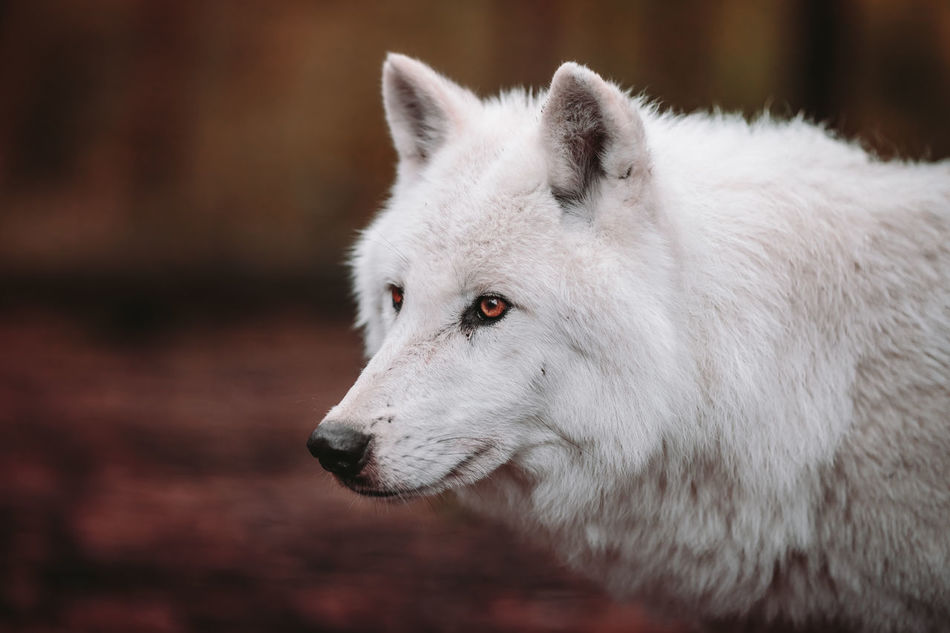 lupus arctos II Animal Animal Body Part Animal Head  Animal Nose Animal Themes Arctic Arctic Wolf Close-up Focus On Foreground Nature Outdoors Polar Wolf Selective Focus White Wolf Market Reviewers' Top Picks
