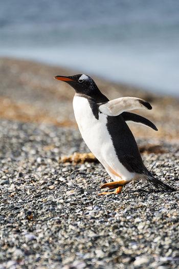 Portrait to Papua penguin on the gravel on the seashore Antarctic Argentina Beach Beak Bird Canal De Beagle Gentoo Penguin Gentoo Penguins Gravel Island Magellan Magellano Martillo; Patagonia; Pygoscelis Papua; Argentina; Harberton; Isla; Portrait; Beagle; Magellano; Bird; Nature; Gentoo; Wildlife; Pygoscelis; Wild; Beak; South; Natural; Island; Antarctic; Polar; Travel; Watching; Rocks; Water; Malvinas; Adult; Colony; Mari Nature Ocean One Animal Papua Patagonia Penguin Pygoscelis Papua Sea Tierra Del Fuego Tierradelfuego Ushuaïa Wildlife