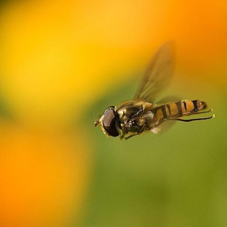 Macro Macros Syrphe Fly Vol Envol Macrophotography Pet Pets Animal Animals Insect Nature Nikonfr Nikon