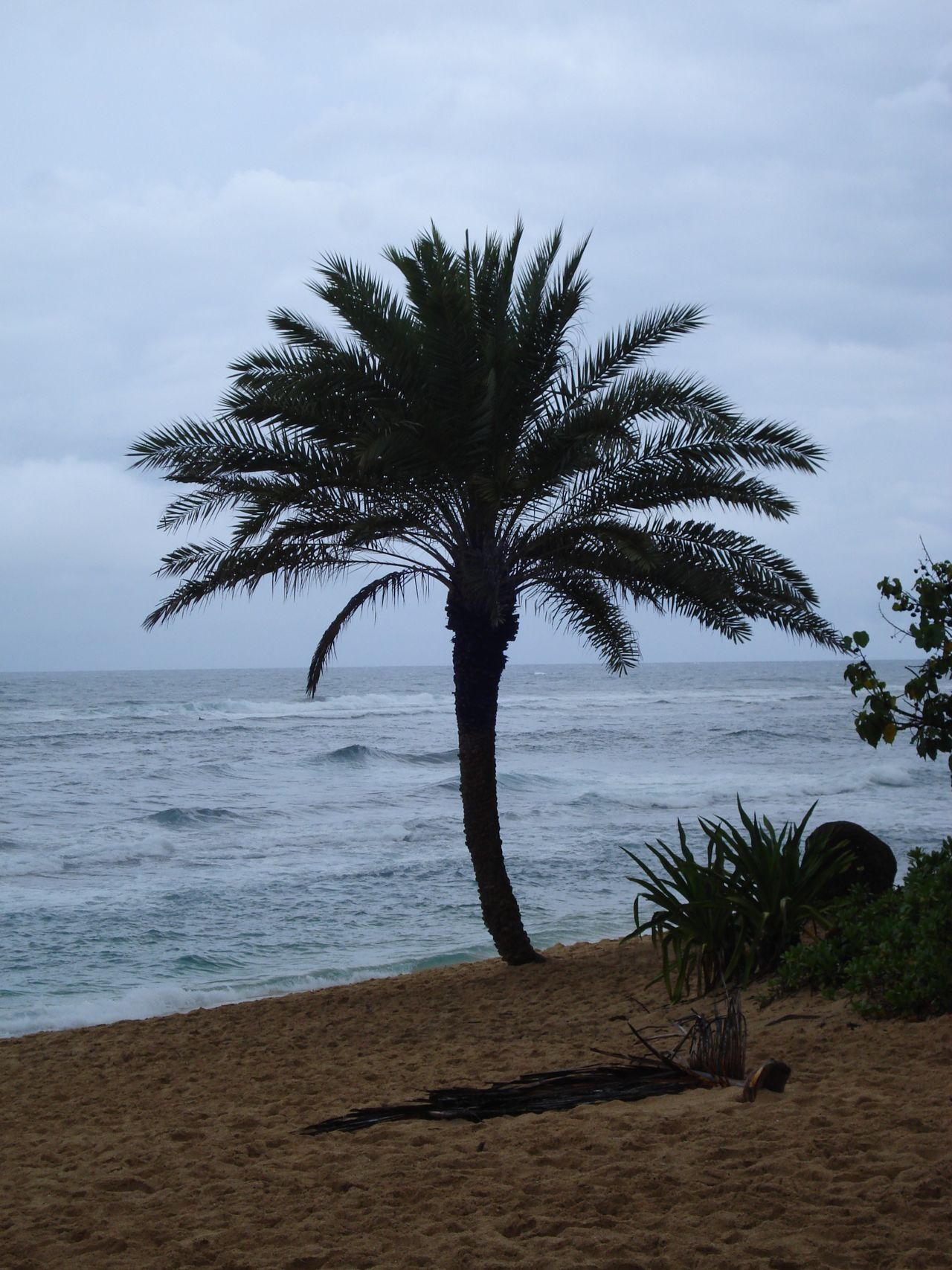Beach Lifestyle Beach Palms Beach Photography Beach Time Beach Trees Beachphotography Date Palm North Shore Overcast Weather ❤ Palm Tree Sand Tropical Beaches Tropical Climate Tropical Fruit Tropical Paradise