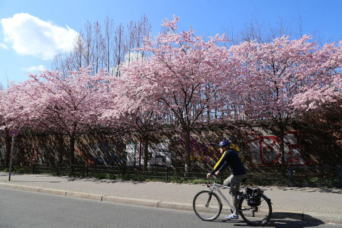 Berlin Bicycle Bike Bloom Blooming Blosssom City Cycle Cyclist Flower Germany Green Lifestyles Men Nature Pink Road Sakura Sky Spring Springtime Sun Transportation Tree Urban