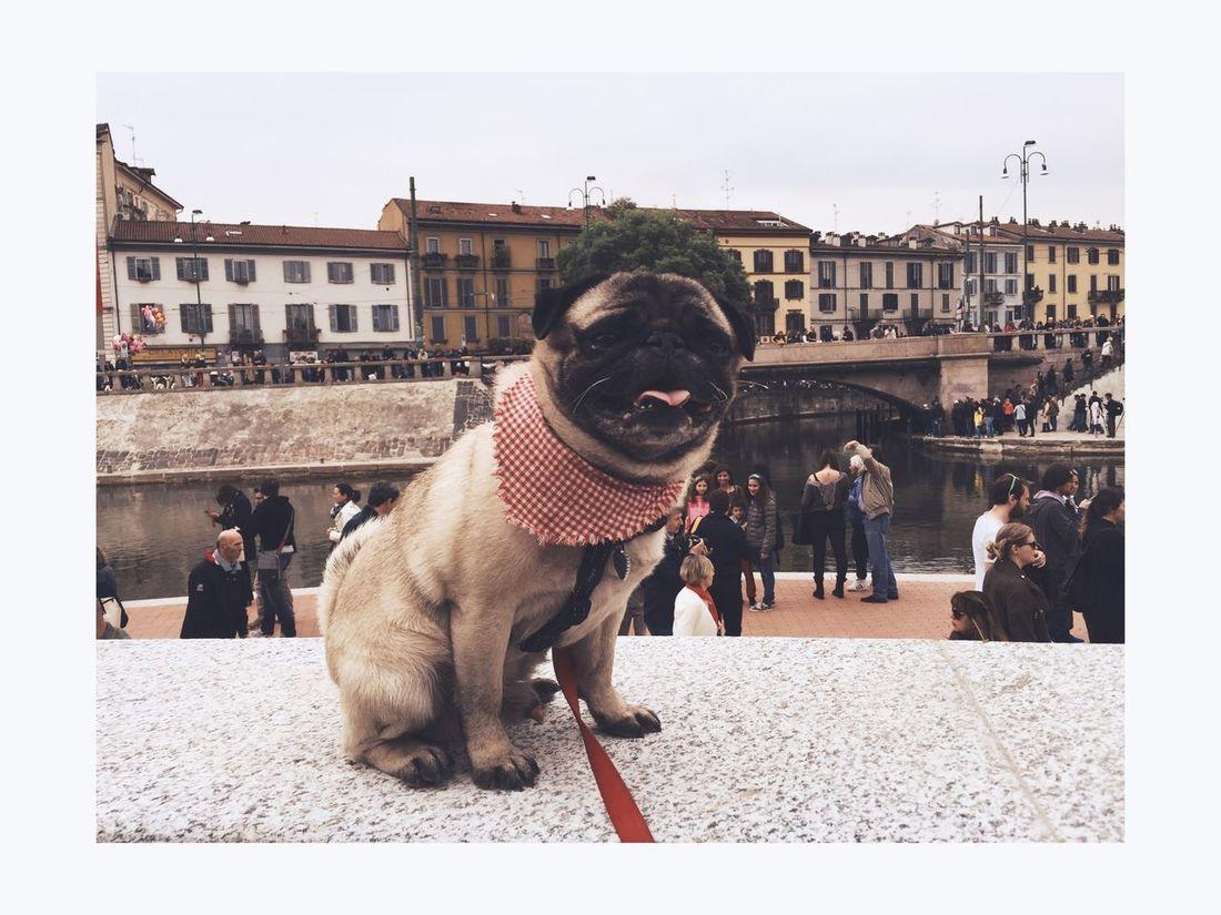 Gran giorno anche per Raimondo ! Navigli Darsena Pug Smile Pug Life  Milano Italia Freedom April Hello World