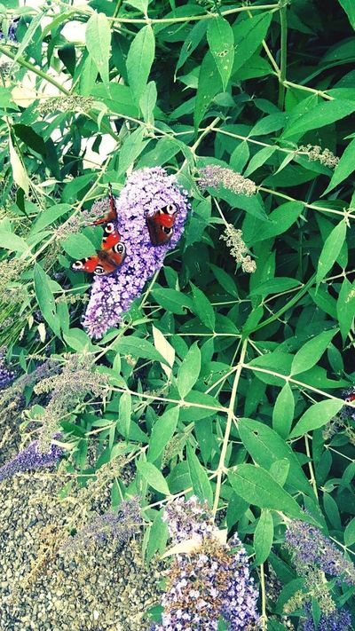 Purple Animal Themes Insect Animals In The Wild Leaf Day No People High Angle View Nature Outdoors Flower Close-up Plant Beauty In Nature Butterfly Summer Butterlfly Germany The Week On EyeEm