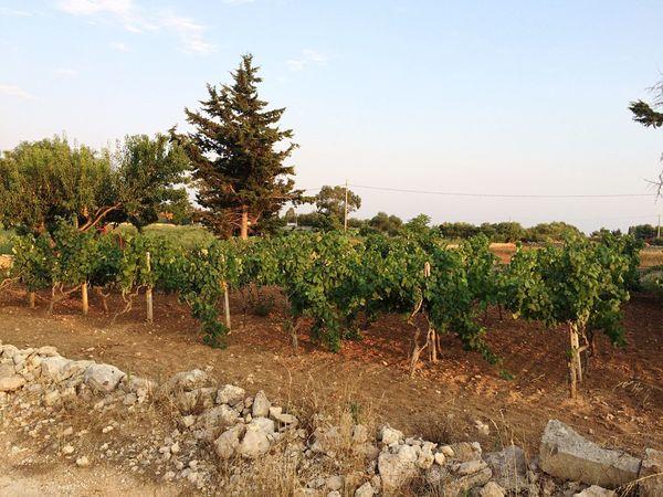 The Vineyard ( Torricella-Taranto-Puglia) Hello World Nature Enjoying Life Enjoying The View Enjoying The Sun Relaxing Italy Photo Vineyard EyeEm Best Shots
