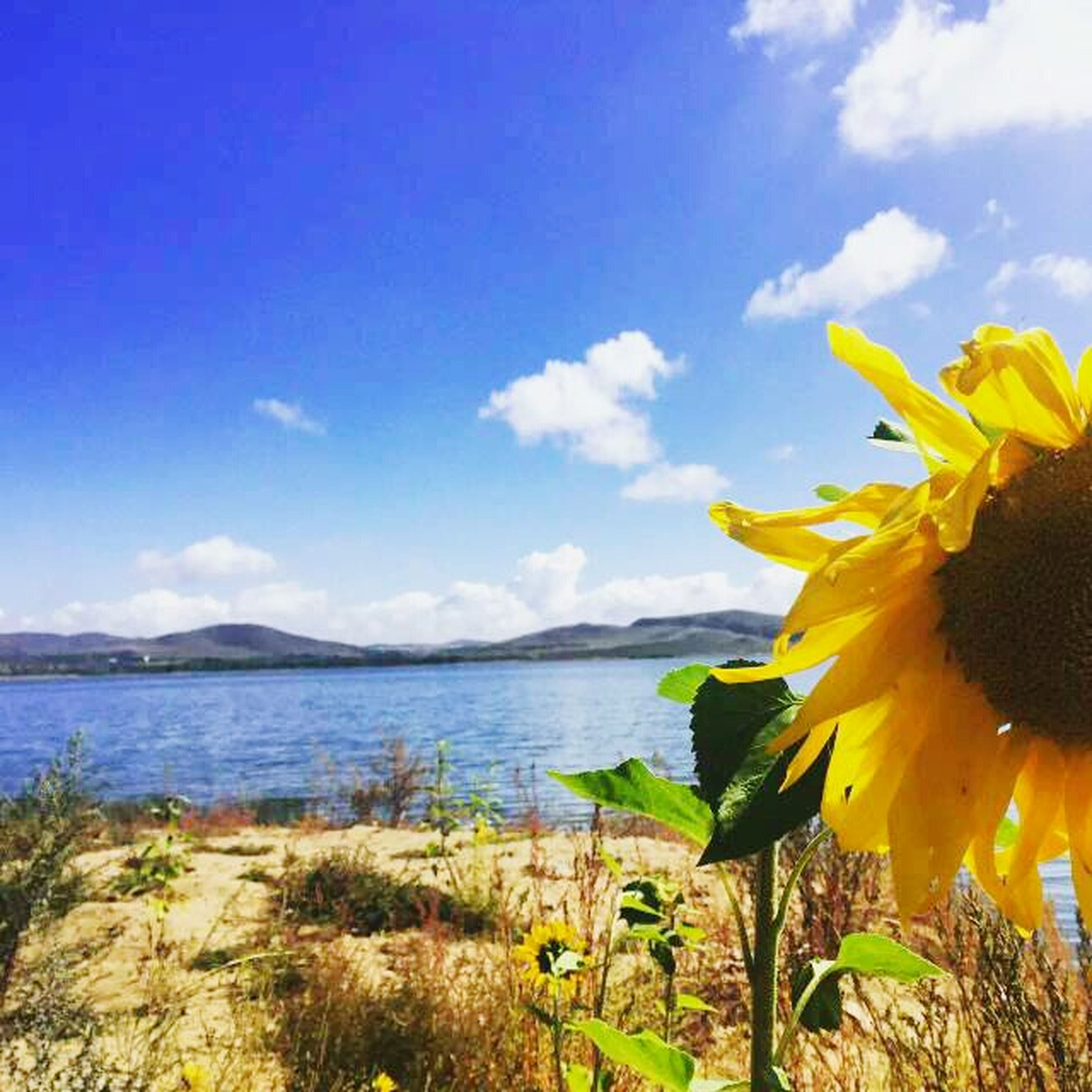 sky, beauty in nature, flower, tranquility, tranquil scene, nature, yellow, scenics, plant, cloud - sky, growth, blue, cloud, water, sea, field, landscape, idyllic, day, outdoors