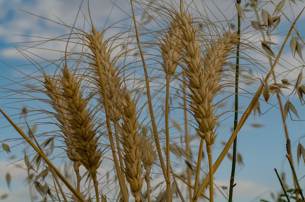 growth, nature, agriculture, plant, no people, cereal plant, ear of wheat, day, crop, beauty in nature, tranquility, outdoors, tranquil scene, wheat, close-up, sky, scenics