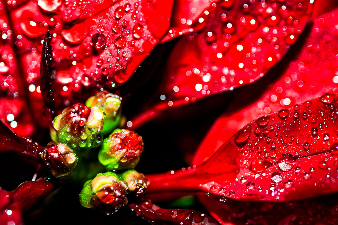 Drastic Edit Poinsettia Passion Red Beautiful Nature Beauty In Nature Color Palette Colour Of Life EyeEm Best Shots EyeEm Gallery EyeEm Nature Lover Fine Art Flower Flower Collection Hello World Light And Shadow Macro Macro Beauty Nature Naturelovers Raindrops Rainy Days Taking Photos Wet Winter Flowers