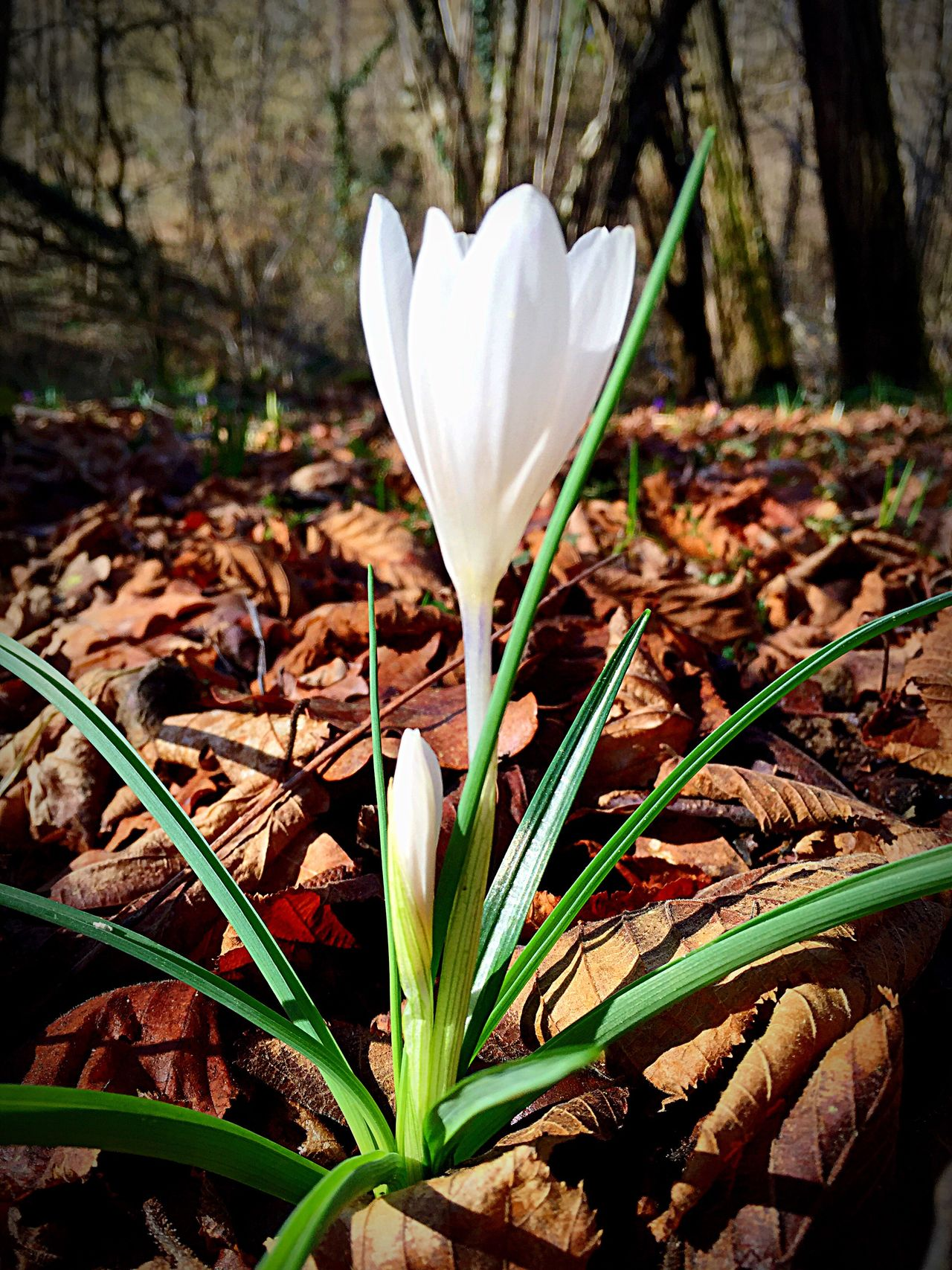 Fiore, bosco, flower, crocchi, bianco, white