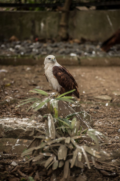 Animal Themes Animal Wildlife Animals In The Wild Bird Day Eagle Eagles Eyeem Philippines Nature No People One Animal Outdoors Perching Philippine Eagle Serpent Eagle White Bellied Eagle