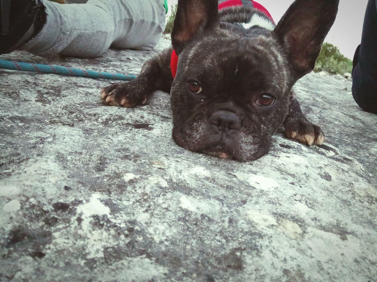 Bulldog French Aninals
