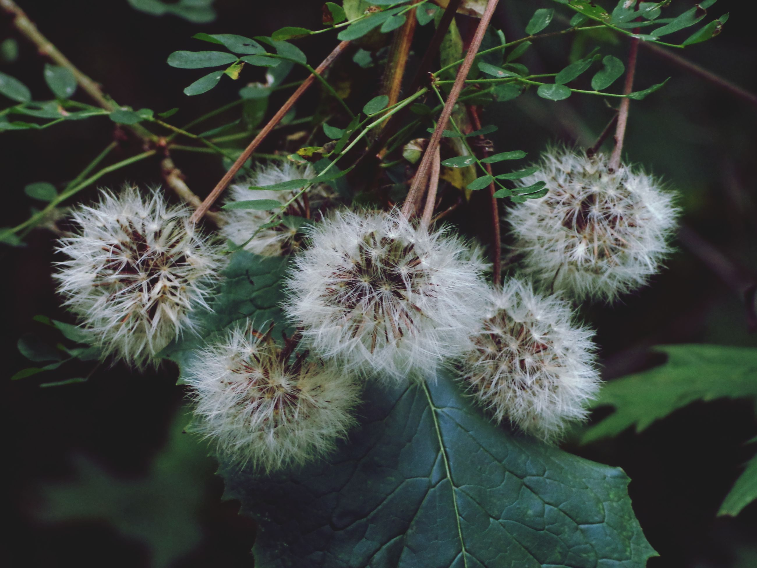 growth, flower, fragility, freshness, plant, close-up, nature, flower head, dandelion, white color, beauty in nature, focus on foreground, leaf, high angle view, uncultivated, botany, outdoors, day, blooming, softness