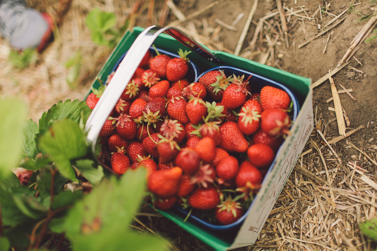 Abundance Basket Close-up Day Farm Focus On Foreground Food Freshness Green Color Group Of Objects Growth Harvest Heap Large Group Of Objects No People Organic Outdoors Pick Your Own Fruit Red Ripe Selective Focus Still Life Strawberries Strawberry Tomato