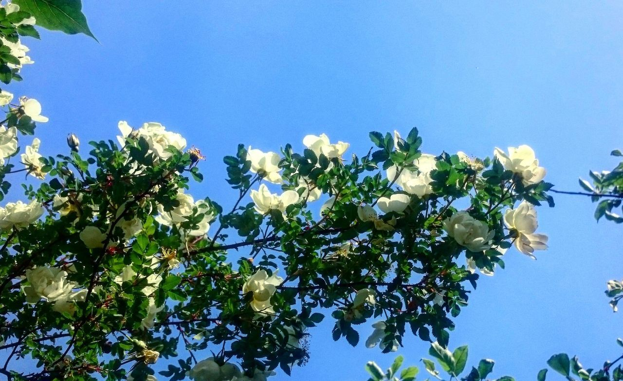 Flower Roses Sky Contrast Nature Nature_collection Love Relax Joy Naturegifts 🌈 Nature Melancholy Piece Country Life Nature Photography Naturelovers The Essence Of Summer- 2016 EyeEm Awards Lifetime Aromatic Aromatherapy Happy Happiness Feeling Thankful Pfoto
