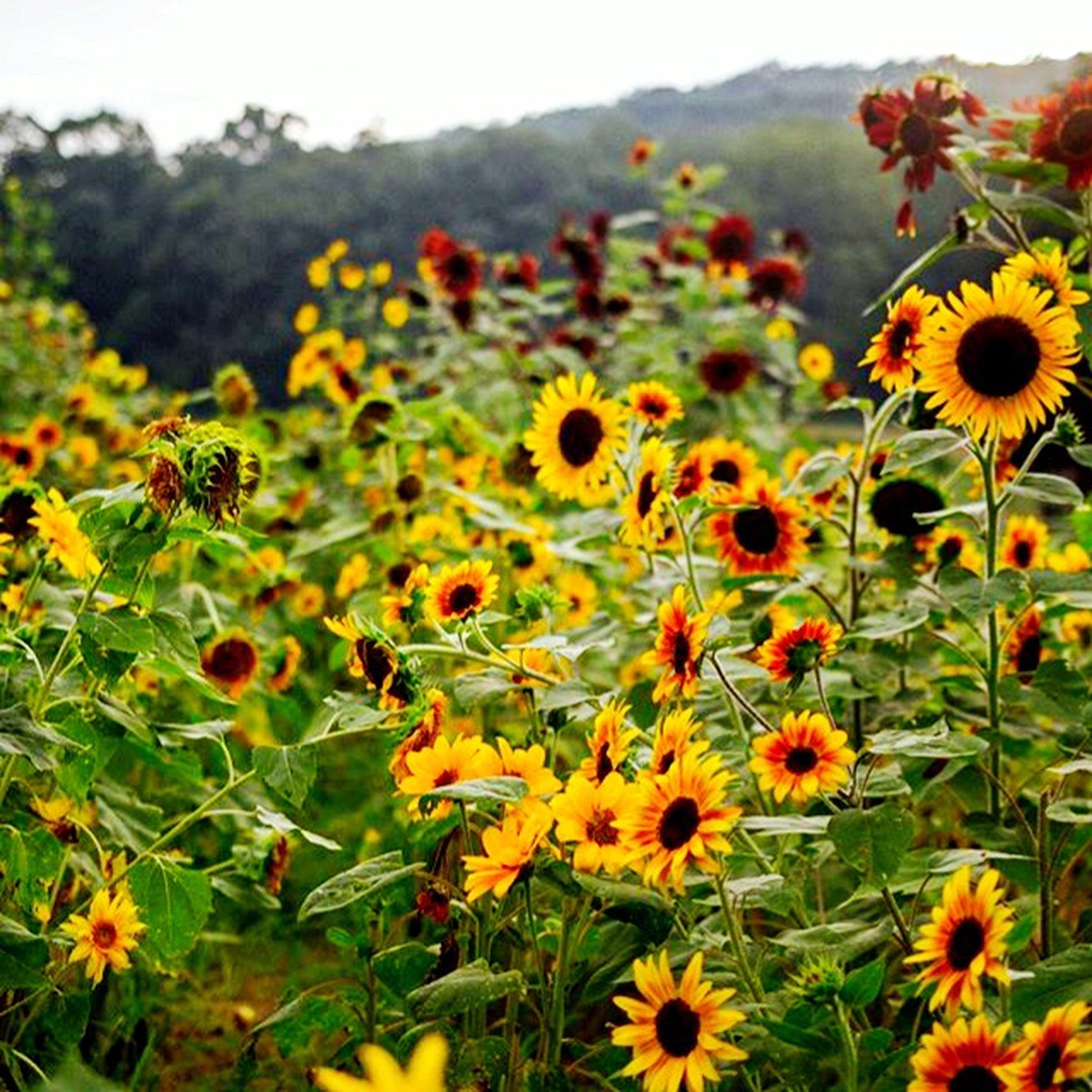flower, freshness, yellow, growth, fragility, beauty in nature, petal, blooming, plant, nature, field, flower head, sunflower, focus on foreground, in bloom, close-up, abundance, agriculture, stem, outdoors