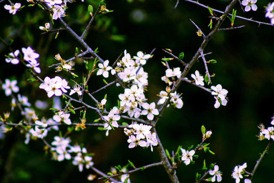 Nature Flower Beauty In Nature White Color Freshness Springtime Blossom Tree Plant Close-up No People Outdoors Growth Photography Fragility Wallpaper EyeEm Nature Lover EyeEmNewHere