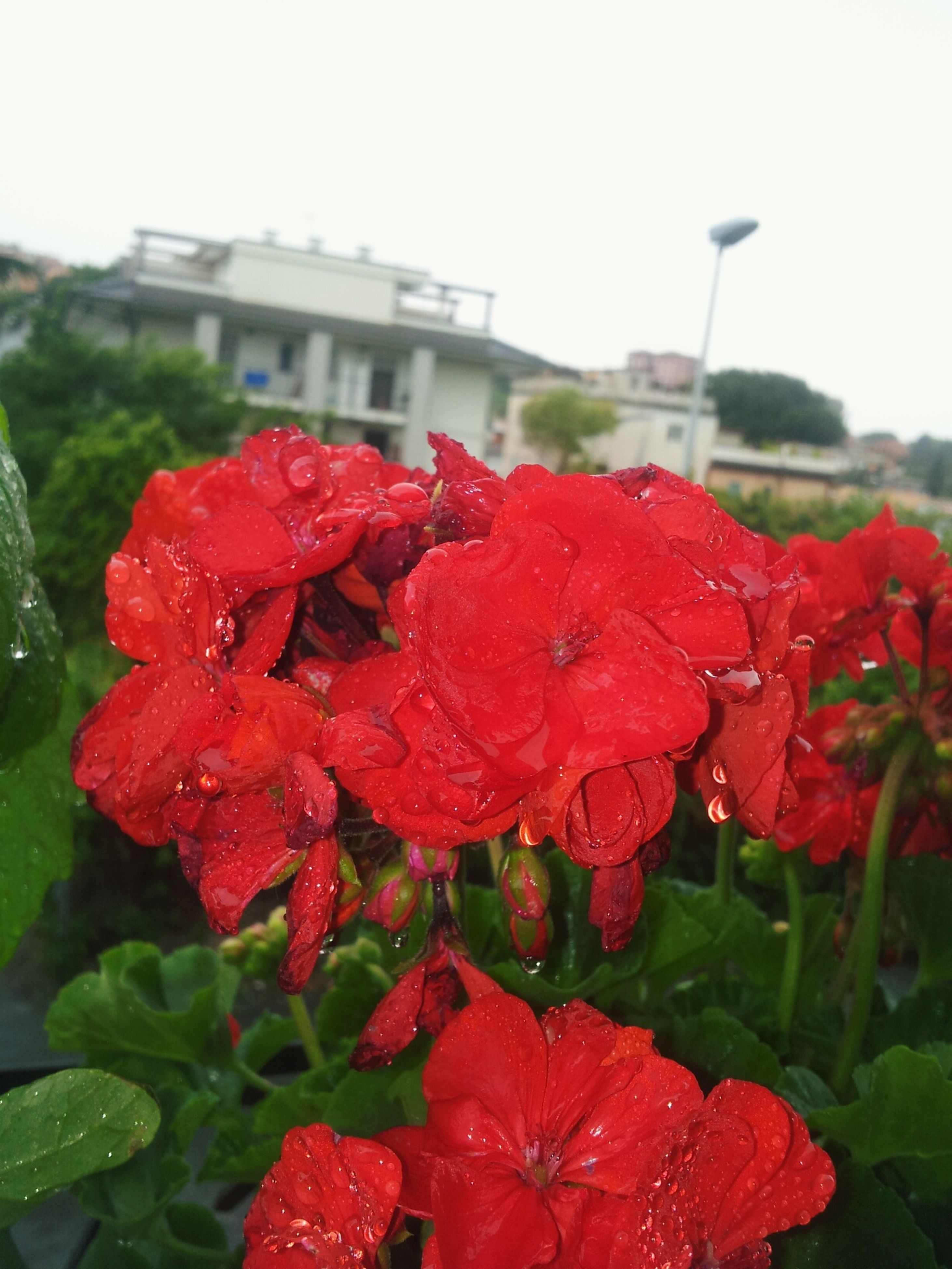 flower, freshness, red, fragility, petal, growth, drop, beauty in nature, flower head, blooming, focus on foreground, wet, plant, close-up, leaf, nature, water, in bloom, season, day