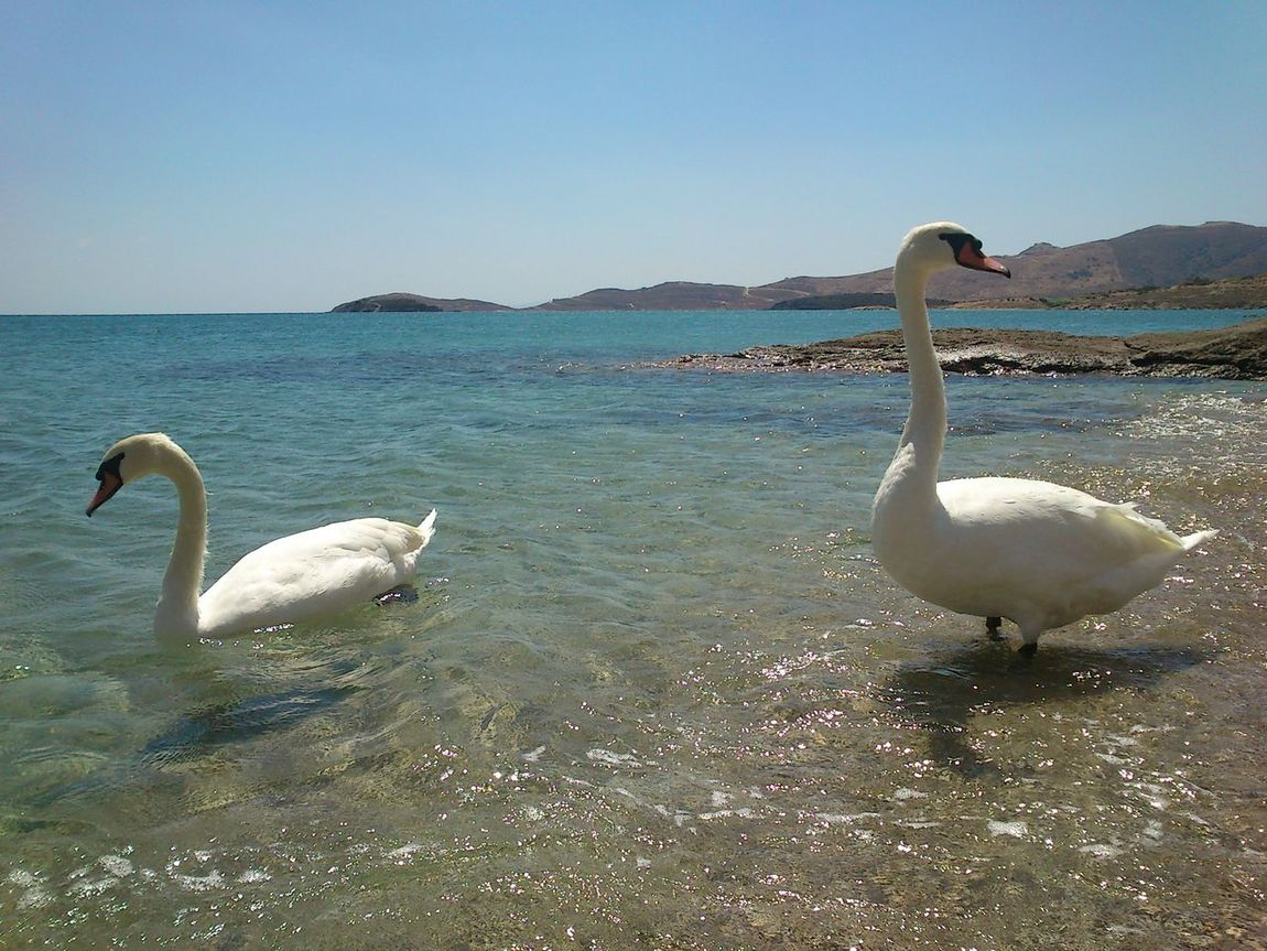 Beauty In Nature Bird Nature Swans Water Swans ❤ Swans Of Eyeem Swans Swimming