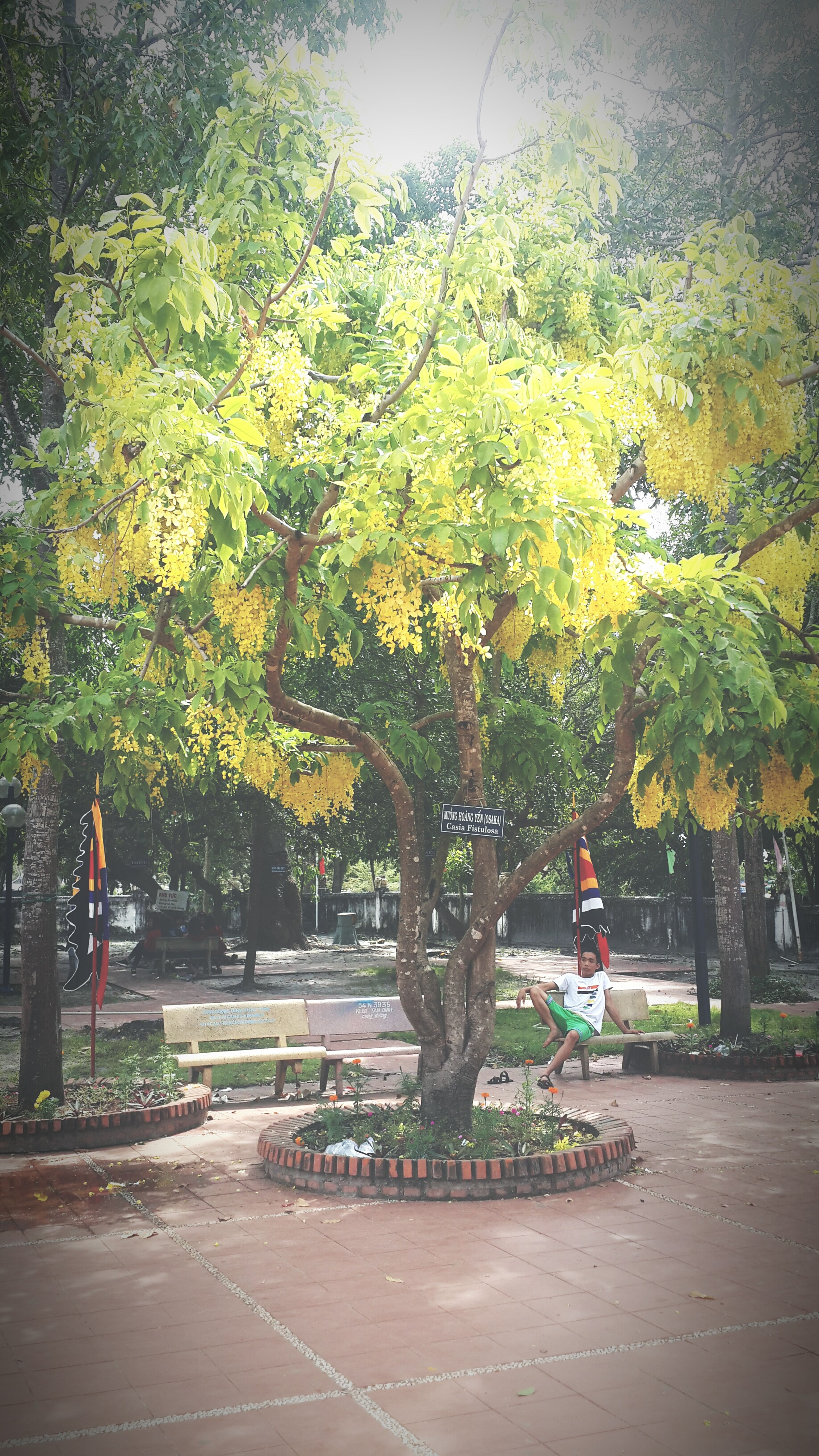 Osaka tree Osakatree Lagibinhthuan Temple Dinhthaythim