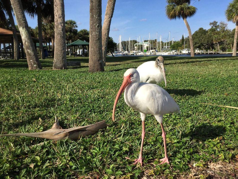 Ibis & wood stork Ballard Park Melbourne Florida Ibis Wood Stork Wading Birds Animals In The Wild Animal Themes Animal Wildlife